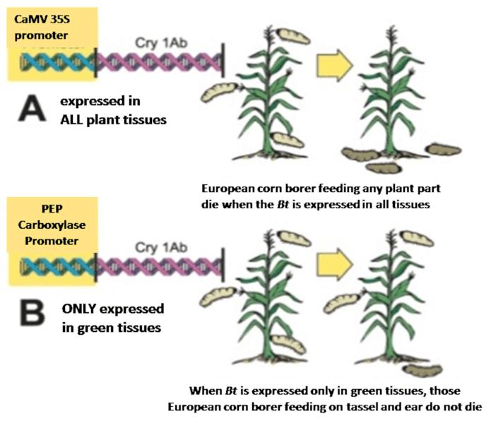 Fig. 6. Bacillus thuringiensis gene