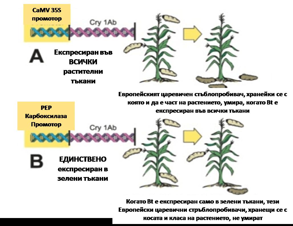 Фиг. 6. Ген Bacillus thuringiensis