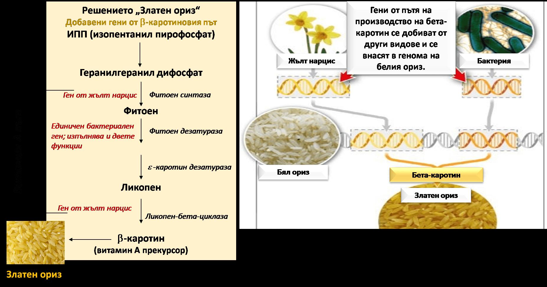 Фиг. 7. Трансфер на гени в ориз за увеличение нивата на витамин А