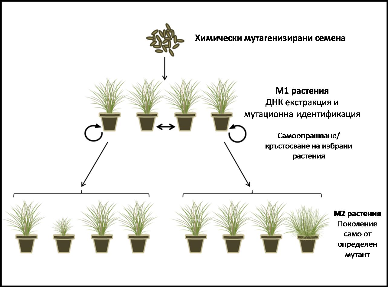 Фиг. 15. Обратна генетика при многогодишни райграси