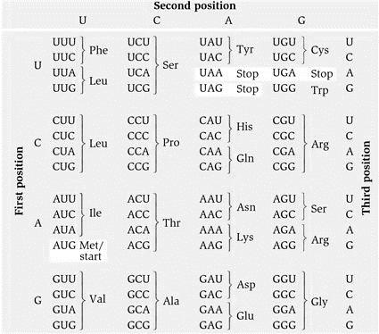 Фигура 1. Обратен превод на белтъчна последователност в ДНК