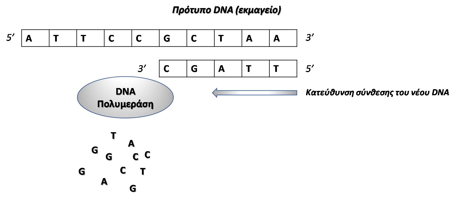 Εικόνα 2. Σχηματική αναπαράσταση της αντιγραφής της έλικας του DNA