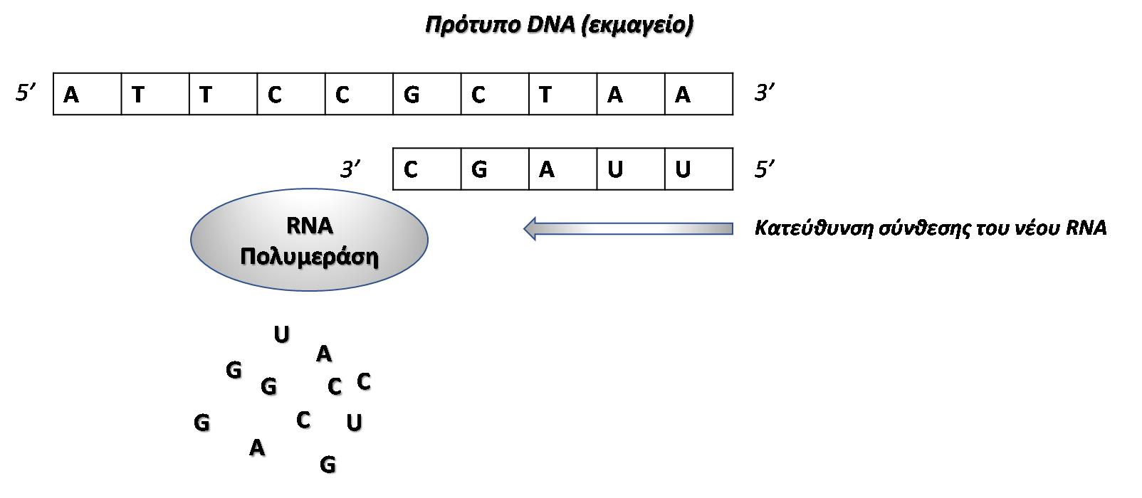 Εικόνα 3. Σχηματική αναπαράσταση της μεταγραφής του DNA σε RNA