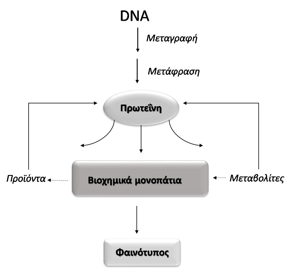 Εικόνα 1. Μεταφορά πληροφοριών γονιδιώματος στον φαινότυπο