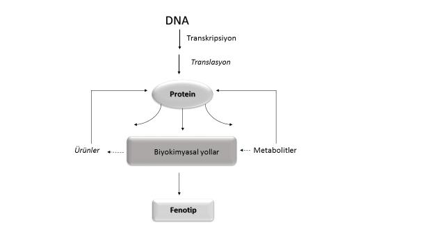 Şekil 1. Genom bilgisini fenotipe aktarma