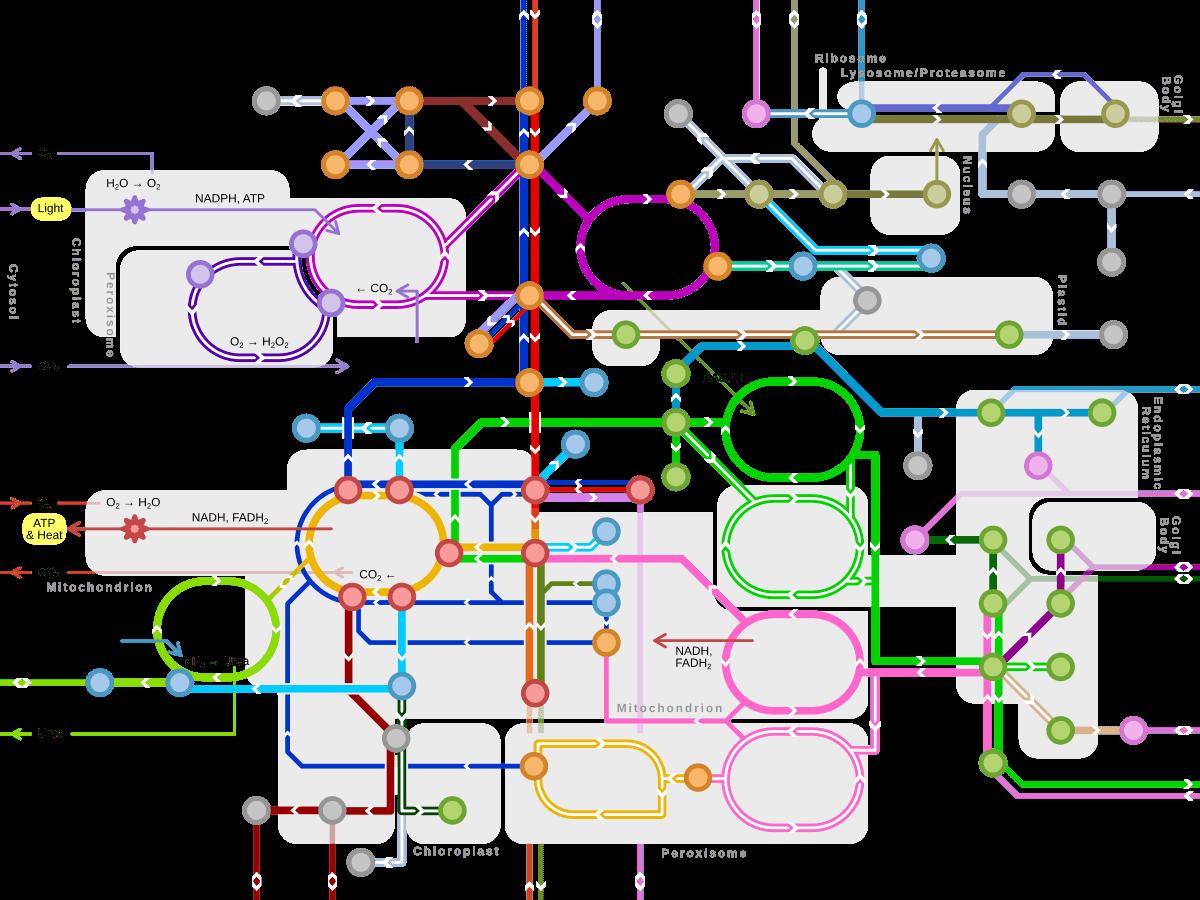 Şekil 6. Kompleks bir metabolik yol